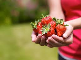 «Выборжец» будет выращивать настоящую вкусную клубнику.