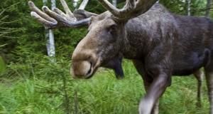 ДТП с участием животных участились в Ленобласти.