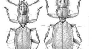 Слепые жуки способны изменить традиционный взгляд на эволюцию