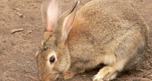 В Европе кролики переселяются в города