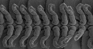 Американские ученые показали многоножку с 414 ногами